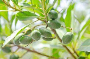 オリーブオイルの美容成分は何があるの?